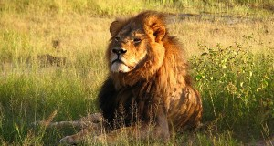 Cecil the Lion, shot in Zimbabwe in July (photo courtesy of Wikimedia Commons.)