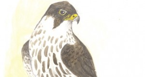 Hobby bird (drawing by Richard Hoath)