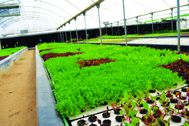 Rows of baby leaf lettuce.